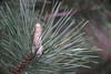 DSC08065 (Old Lenses New Camera) Tags: sony a7r graflex graftar wollensak 103mm f45 plants garden trioptar tree pinetree pinecone pineneedles austrianpine