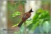7872 -  red whiskered bulbul (chandrasekaran a 50 lakhs views Thanks to all.) Tags: bulbul birds nature india kerala wayanad canoneos6dmarkii tamronsp150600mmg2 redwhiskeredbulbul