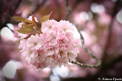 Trade Your Expectation For Appreciation And The World Changes Instantly (_Natasa_) Tags: flowers tree springflowers pink pinkflowers spring nature art bokeh dof depthoffield natasaopacic natasaopacicphotography canon canoneos7d canonef100mmf28lmacroisusm blossom