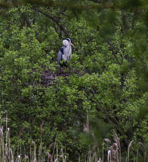 Heron Nest, Priory Country Park, Bedford