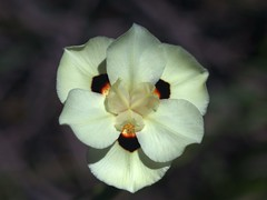 African Iris (bamboosage) Tags: macro yashinon 28 ƒ60mm tomioka preset m42 macroyashinon2 8ƒ60mmtomiokapresetm42