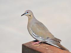 Pigeon (Gaviotita) Tags: pigeon paloma nikon nikond3200 55300mm sanluispotosí méxico