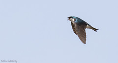 Tree Swallow (Melissa M McCarthy) Tags: treeswallow swallow blue bird cute animal nature wildlife outdoor birdinflight bif flying fast action motion eating hunting fly stjohns newfoundland canon7dmarkii canon100400isii