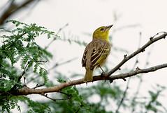 Cape Weaver (Arranion) Tags: bird nature yellow cape weaver canon eos 40d 70200mm f4 l wings branch