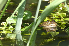 Warming up (ocelotcreative) Tags: marshfrog frog londonwildlife ukwildlife cranepark