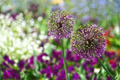 mainau im mai ... (joachim.d.) Tags: bodensee inselmainau mainau blüten blumen flowers lila violett farbenfroh bunt mai frühling