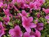 flowers (Hideki Iba) Tags: nature japan iphone iphone8