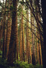 Not a Native (Greengraf Photography) Tags: bark conifer evergreen forest green hazy logs mist natural nature plant planted timber tree wood woodland