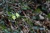 . (CarloAlessioCozzolino) Tags: cornatedadda fiori flowers natura nature primula primulacomune primulavulgaris