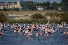 (nadiaorioliphoto) Tags: birds aves flamingos fenicotteri uccelli animals