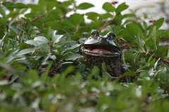 Bullfrog. (rlbarn) Tags: frog bullfrog