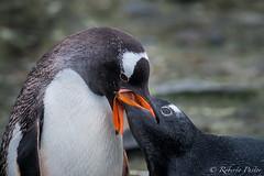 Alimentando a la cría (robertopastor) Tags: antarctica antarctique antarktika antartic antártida barrientosisland fuji islabarrientos robertopastor xt2 xf14xtc xf100400