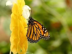Danaus plexippus (Linda DV) Tags: lindadevolder lumix panasonic dcfz83 geotagged geomapped tenerife 2018 spain islascanarias canaryislands europe icoddelosvinos mariposariodeldrago butterflygarden ribbet