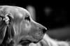 Lujzilla (rrichrd1) Tags: nikon d5100 dog black white pet