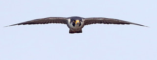 Peregrine On the Move