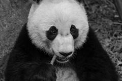 Giant Panda Bei Bei (貝貝) [Explored on 5/20/18] (Above and Below the Waterline) Tags: panda giantpanda beibei 貝貝 zoo nationalzoo dc washington smithsonian bear cuddly cute
