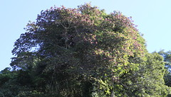 Giant Stinging Tree (Dendrocnide excelsa) in fruit (Poytr) Tags: arfp nswrfp qrfp subtropicalarf subtropicalrainforest dendrocnideexcelsa dendrocnide tree fruit urticaceae giantstingingtree arffs purplefruit purplearffs kiama sky princeshighway purple pinkarffs