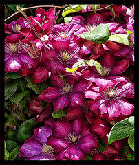 Clematis (A Work of Mark) Tags: flowers topaz hdr photoshop color clematis
