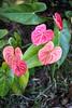 More Anthurium (wyojones) Tags: redanthurium hawaii cultivars anthuriumandraeanum plant flower volcanovillage bigisland plantgrowing horticultre anthuriums