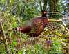 pheasant (Rourkeor) Tags: scotland unitedkingdom gb culzean woodland spring park ayrshire colours flowers olympus omd em1mk2 12100mmpro mft