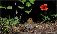 Little bird and a little red flower (lukiassaikul) Tags: wildlifephotography wildanimals europeanrobin spring smallbirds wildbirds gardenbirds robin urbanwildlife