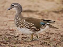 Mandarin duck (female) (PhotoLoonie) Tags: duck mandarinduck mandarinduckfemale wildlife nature spring waterbird