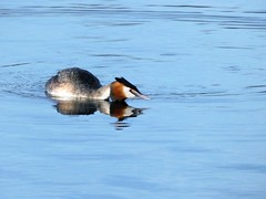 Great crested grebe (Deanne Wildsmith) Tags: earthnaturelife grebe greatcrestedgrebe bird staffordshire bartonmarina