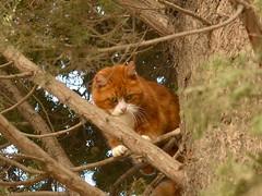DSC_1186 1 (Luniul) Tags: animal cat tree nature redcat