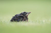 Black Bird chick (Wouter's Wildlife Photography) Tags: blackbird bird nature naturephotography wildlife wildlifephotography gardenbird garden turdusmerula chick young billund