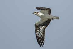 Osprey - You may have to wait., but it's worth it! (Ann and Chris) Tags: avian amazing bird birdofprey flying hunting hunt outdoors osprey stunning wildlife wild wings white