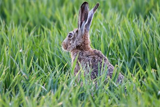 Feldhase / Hare