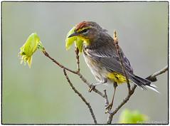 Palm Warbler (view Large) (RKop) Tags: d500 nikkor600f4evr 14xtciii raphaelkopanphotography huestonwoodspark ohio handheld iso400f561800 warblers warbler