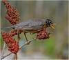 American Robin (Summerside90) Tags: birds birdwatcher americanrobin may spring backyard garden sumac nature wildlife ontario canada