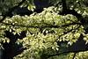 Leaves (Benn Gunn Baker) Tags: benn gunn baker canon 550d t2i bristol zoo leaves tree spring green