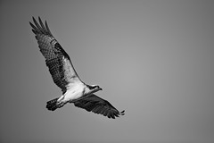 First Light Osprey (brendon_curtis) Tags: canon 1dxii 1dx makr ii eos usm 500mm f4l is nature natural animals wildlife birds avian