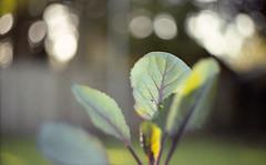 cabbage (Yutaka Seki) Tags: prakticafx3 helios442 mmz bokeh kodakgcultramax400 expiredfilm analogue homedeveloped unicolorpresskit cabbage leaf soft beautifullight grain veins capillaries vegetable