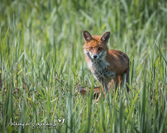 Watching Me Watching You (Anthony de Schoolmeester) Tags: fox vixen redfox forestfarm cardiff wildlife wildanimal wildlifephotography nature naturephotography inquisitive nikon nikonafs20050056e nikond500 green grass