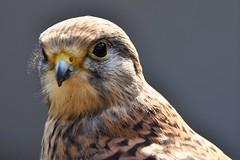 Portrait of a Kestrel in the sunshine (JerryGoulet) Tags: birdsofprey animal feathers portrait closeup colours conservationism contemporary conservancy conservation contrast sigma150600 colors outdoors newent sigma birds british beak england exposure expression eyes eagles charity uk nikon d500