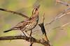 Red-winged Blackbird Girl (NaturalLight) Tags: female redwingedblackbird redwinged blackbird chisholmcreekpark wichita kansas