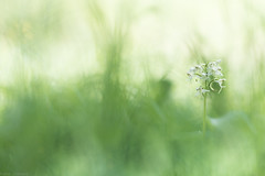 Le tutu blanc (Missy Karine) Tags: orchis flower bokehlicious bokeh ngc fleur platantherachlorantha platanthère vegetal proxi macro green wild fineart picoftheday canon macrofloerlovers 100mml abigfave expositionnaturelle