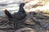 Spruce Grouse (Nicolas Bussieres (Lost Geckos)) Tags: canada spruce grouse
