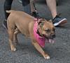 Cool Doggie (Scott 97006) Tags: dog animal pet cute scarf panting walk