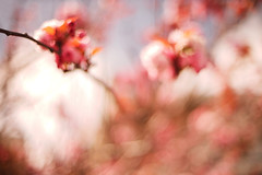 Sakura Dream (louie imaging) Tags: sakura cherry blossom cherryblossom tree flower spring expression mood blossoms world pictorial depth bokeh bokehlicious painted lensculture camera life icon iconic abstract surreal surrealism impression impressionism san francisco japan light afternoon clouds exploretocreate sanfrancisco energy