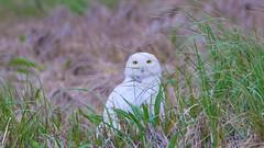 Snowy Owl - Duxbury - 5-18-18-8 (McDonaldMorgans) Tags: duxburybeach gurnetroad snowyowl willet commoneider mourningdove