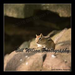chipmunk (wildlifephotonj) Tags: chipmunk chipmunks wildlifephotographynj naturephotographynj wildlifephotography wildlife nature naturephotography wildlifephotos naturephotos natureprints