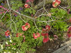 Pink Dogwood Opening (MadKnits) Tags: garden green growing plants trees flowers dogwood pinkdogwood