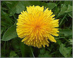 Close Up of the Dandelion Flower, (** Janets Photos **) Tags: uk nature weeds flowers plants dandelions green yellow macro closeups