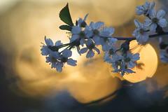 On Fire (jttoivonen) Tags: flowers plant tree spring white cherry sunset vintagelens finland creativecommons bokeh