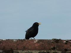 365/140 [180520] - Blackbird (maljoe) Tags: 365 thedailypost blackbird bird birds