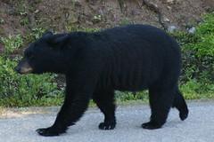 OpalHiills00007 (jahNorr) Tags: summertrip 2012 animalswildlifebears canadaalbertajaspernationalparkmalignecanyonroad